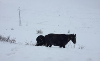 Karda at ve keklikler yiyecek aradı