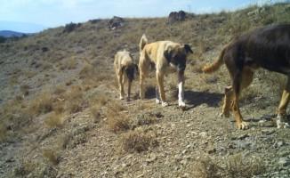Başıboş köpekler yaban hayatını tehdit ediyor