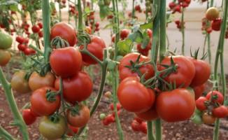 Salkım domates üreticisini sevindirdi