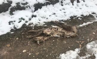 Sungurlu'da aç kurtlar köpeği parçaladı