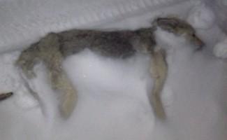 Yüksekova'da yolda donmuş köpek bulundu