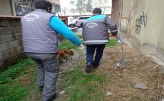 Bursa'da başıboş pitbull belediye ekipleri tarafından yakalandı
