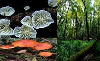 Girilmesi yasak olan ormanda 1 zehirli, 34 tür de yenmez mantar var