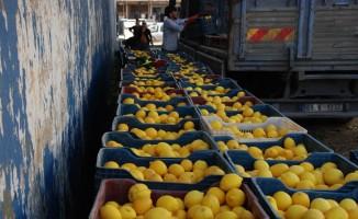 Yağışlar hasadı geciktirdi, limon dalında kaldı