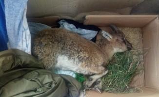Yaralı halde bulunan yaban keçisi kurtarılamadı