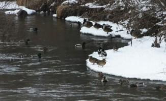 Yeşilbaş ördekleri Kars Çayı'nı mesken tuttu