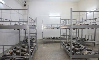 Ziraat Fakültesi bünyesinde mantar üretimine başlandı