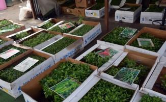 Organik fideler Sinop pazarında