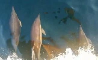 Yunusların balıkçı teknesi ile yarışı