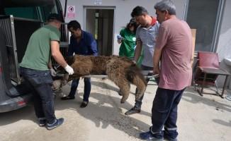 Bilecik'te aracın çarptığı ayı tedavi altına alındı