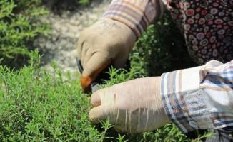 Zahter diyarında hasat mesaisi