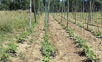 Çiftçinin umudu 'Pazaryeri boncuğu'