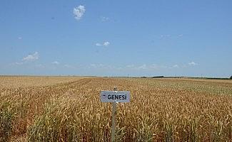 Tekirdağ'da buğday çeşitliliği artacak