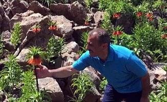 Tunceli Valisi Sonel, 2 bin rakımda koruma altında bulunan ters laleleri inceledi