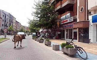 Yolunu şaşıran inek şehir merkezinde gezdi