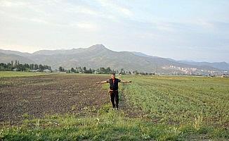 Yüksekova'da çekirge istilası
