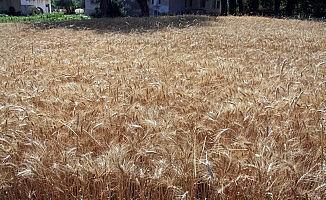 Buğdayda kullanılan mikoriza mantarı ile verim yüzde 20 arttı