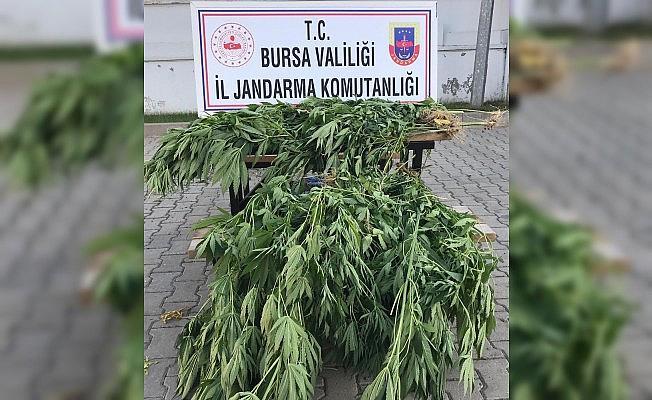 Bursa'da 660 kök kenevir yakalandı