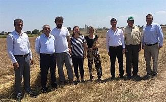 Kırklareli'de 'Siyez Buğdayı' hasadı