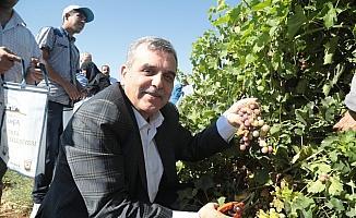 Beyazgül, belediyenin meyve fidanlığında üzüm topladı