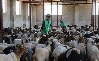 İHH İdlib'de kurbanlık alımlarını tamamladı