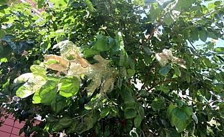 Kartal Belediyesi, Amerikan Beyaz Kelebeğine karşı biyolojik mücadele başlattı