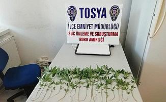 Tosya'da bahçeye ekili 20 kök kenevir ele geçirildi