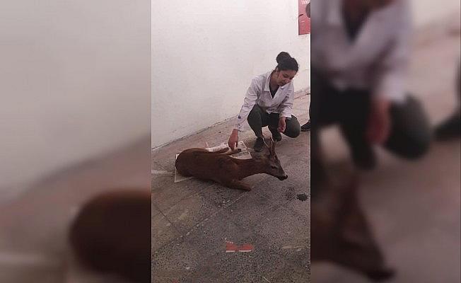 Yaralı halde bulunan Karaca, tedavi altına alındı