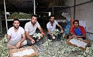 Atanamayınca ipek böceği işine girdiler, aylık 20 bin lira kazanıyorlar